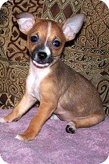 Miniature Pinscher/Chihuahua Mix Puppy for adoption in Framingham, Massachusetts - Cuddles