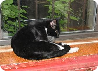 American Shorthair Cat for adoption in Brooklyn, New York - Maxwell