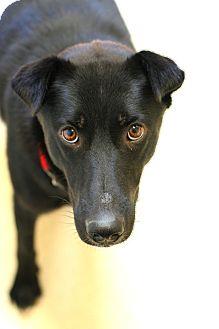 Labrador Retriever/Collie Mix Dog for adoption in Staunton, Virginia - Pepper