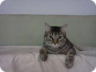 Domestic Shorthair Cat for adoption in Ridgewood, New York - Bernice