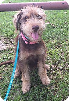 Terrier (Unknown Type, Medium)/Schnauzer (Standard) Mix Puppy for adoption in Seattle, Washington - Bailey