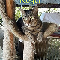 Domestic Shorthair Cat for adoption in Pensacola, Florida - Roger