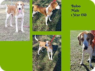 Treeing Walker Coonhound Mix Dog for adoption in Hammond, Louisiana - Baloo