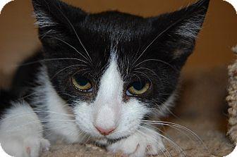 Domestic Shorthair Cat for adoption in Whittier, California - Larsen