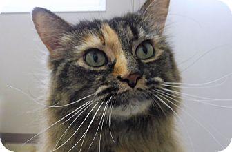 Calico Cat for adoption in Creston, British Columbia - Roberta
