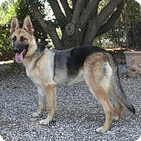Adopt A Pet :: Diesel - Santa Barbara, CA