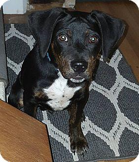 Doberman Pinscher/Hound (Unknown Type) Mix Puppy for adoption in Lima, Pennsylvania - Yankee