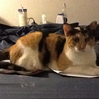 Calico Cat for adoption in Oviedo, Florida - Cassandra