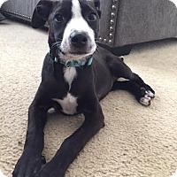 Adopt A Pet :: Leia - Keyport, NJ