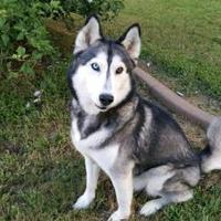 Adopt A Pet :: Dakir - Clay, AL