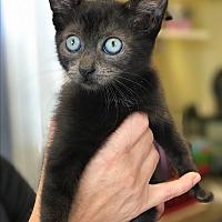 Adopt A Pet :: Hawkgirl - Island Park, NY