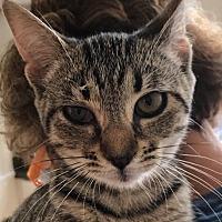 Adopt A Pet :: CLAIRA (Kitten) - New Bern, NC