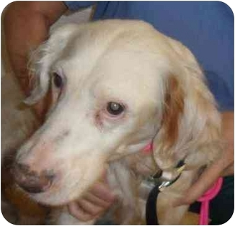 English Setter Dog for adoption in Edgewater, New Jersey - Sandy