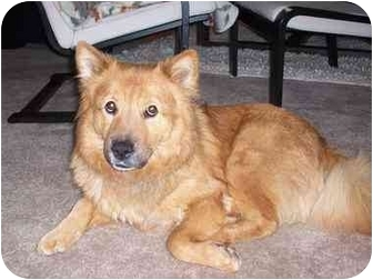 Retriever (Unknown Type)/Chow Chow Mix Dog for adoption in Dale City, Virginia - Jamie