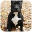Photo 2 - American Staffordshire Terrier Dog for adoption in Chicago, Illinois - Mia