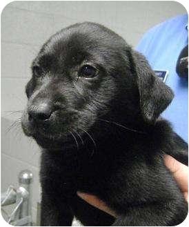 Labrador Retriever Mix Puppy for adoption in Broadway, New Jersey - Lulu