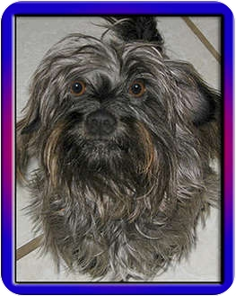 Schnauzer (Miniature)/Terrier (Unknown Type, Small) Mix Dog for adoption in North Palm Beach, Florida - TAz