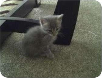 Domestic Mediumhair Kitten for adoption in Haughton, Louisiana - Sky