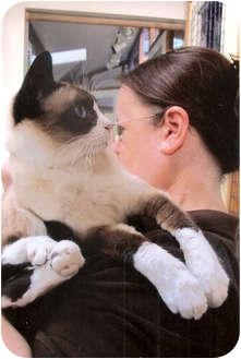 Snowshoe Cat for adoption in Davis, California - Bellamia