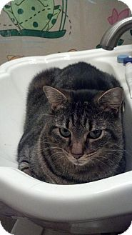 Domestic Mediumhair Cat for adoption in Island Park, New York - Skeeter