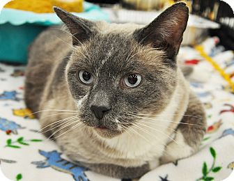 Siamese Cat for adoption in Great Falls, Montana - Buford