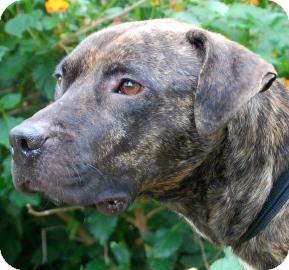 Pit Bull Terrier Mix Dog for adoption in Gainesville, Florida - Possum