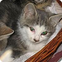 Adopt A Pet :: Meow - Toronto, ON