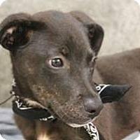 Adopt A Pet :: Chestnut - South Jersey, NJ