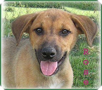 Golden Retriever/Shepherd (Unknown Type) Mix Puppy for adoption in Marlborough, Massachusetts - Rose-One Sweet Little Puppy