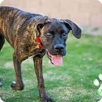 Adopt A Pet :: Larry Love - Scottsdale, AZ