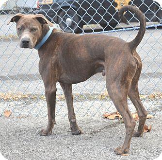 Pit Bull Terrier/Weimaraner Mix Dog for adoption in Morgantown, West Virginia - JAX