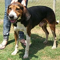 Treeing Walker Coonhound Dog for adoption in Seguin, Texas - Victor