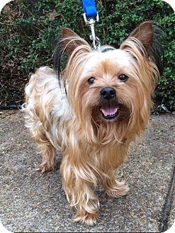 Yorkie, Yorkshire Terrier Dog for adoption in West Seneca, New York - Sonic