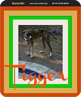 Great Dane Puppy for adoption in bullard, Texas - tigger