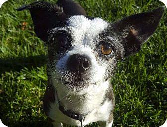 Chihuahua Mix Dog for adoption in San Francisco, California - Chiquita