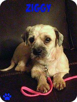 Pug/Shih Tzu Mix Dog for adoption in Sanford, Florida - Ziggy