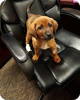 Labrador Retriever Mix Puppy for adoption in waterbury, Connecticut - Ranger