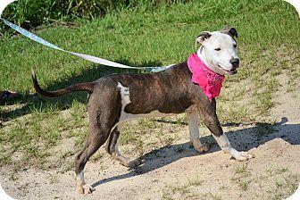 American Bulldog/Labrador Retriever Mix Dog for adoption in Hazlehurst, Georgia - Mara