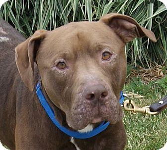 Labrador Retriever/Pit Bull Terrier Mix Dog for adoption in Monroe, Michigan - Nestle
