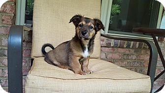 Corgi Mix Puppy for adoption in Harrisburg, North Carolina - Magellan