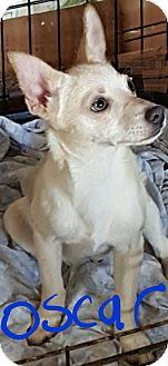 Pomeranian/Chihuahua Mix Puppy for adoption in Burlington, Vermont - Oscar