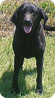 Labrador Retriever Dog for adoption in Palatine/Kildeer/Buffalo Grove, Illinois - Jessica