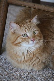 Domestic Longhair Cat for adoption in Rawlins, Wyoming - Peace