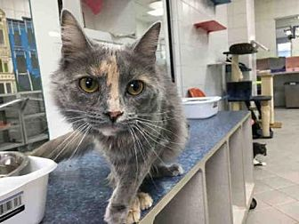 Domestic Mediumhair Cat for adoption in Canfield, Ohio - BEATTY
