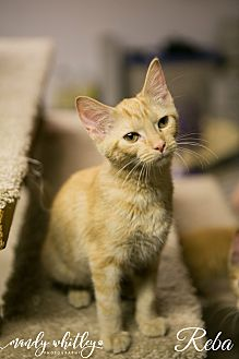 Domestic Shorthair Cat for adoption in Columbia, Tennessee - Reba