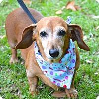 Adopt A Pet :: Little Darling - Lafayette, LA