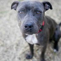 Pit Bull Terrier Mix Dog for adoption in Austin, Texas - *PHOEBE