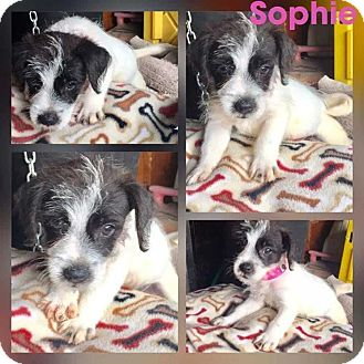 Terrier (Unknown Type, Small) Mix Puppy for adoption in Mesa, Arizona - SOPHIE