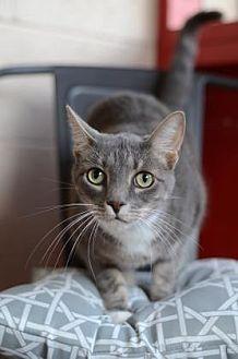 Domestic Shorthair/Domestic Shorthair Mix Cat for adoption in Dahlonega, Georgia - Bernie