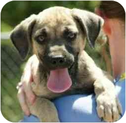 German Shepherd Dog Mix Puppy for adoption in Daisy, Georgia - Buster